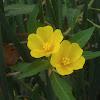 large-flower primrose-willow