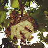 Polistes stigma(Vespidae,Polistinae. Fabricius,1973)點馬蜂(胡蜂科,長腳蜂亞科)