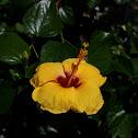 Yellow Gumamela