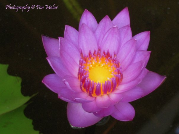 Red & Blue Water Lily