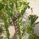Spurge Hawk-moth Caterpillar