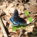 'Astyanax' Red-spotted Purple
