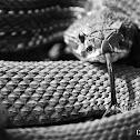 South American Rattlesnake