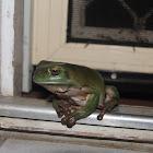 Australian Green Treefrog