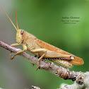 Plains Bird Grasshopper (Pale Colored)