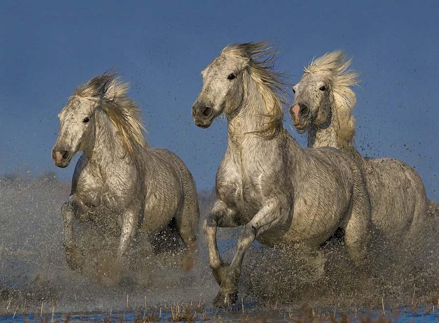 Galloping Horses by Austin Thomas - Animals Horses