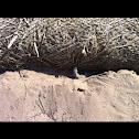 Western whiptail lizard
