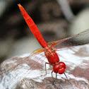 Scarlet Percher Dragonfly