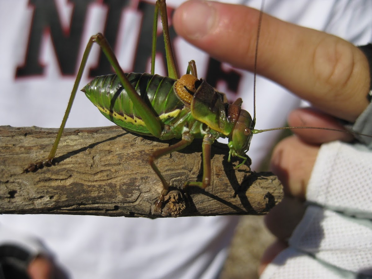 saddle-backed bush cricket; grillo de corral