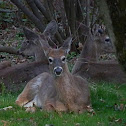 Eastern White-tail Deer (Herd)