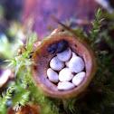 Birds nest fungi mushroom