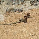 Central American Whiptail