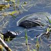 Florida Softshell Turtle