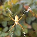 Silver Signature Spider