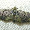 Green Pug Moth