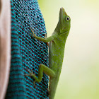 Neotropical green anole