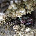 Tidepool Crab