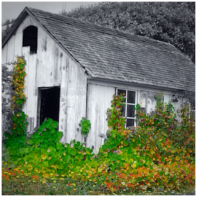 The Barn by Jennifer Watkins Odom - Buildings & Architecture Decaying & Abandoned ( selective color, pwc )