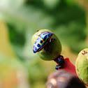 African Rainbow Shield Bug