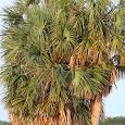 Nonnative Tree Invasion -Midwest US
