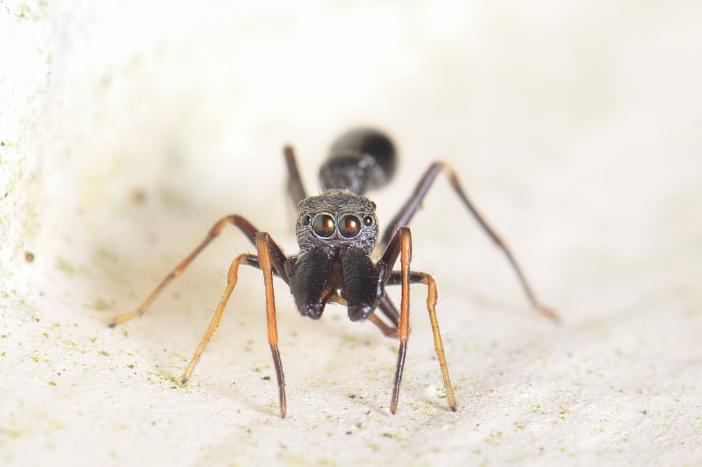 Black Ant mimic spider Male