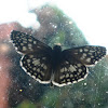 Mariposa Capitán de cuadros tropicales