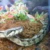 American Boa Constrictor