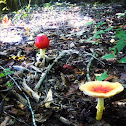 American Caesar's Mushroom