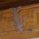 Tokek / tokay gecko