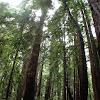 Giant Redwood