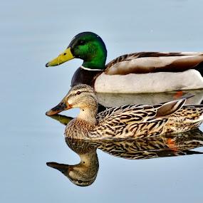 Mr & Mrs Duck by Dave Knapp - Animals Birds ( mallard, ducks,  )