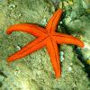 Starfish. Estrella de mar