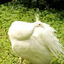 White Indian peafowl ♀