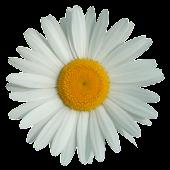 Marguerite Flower clock