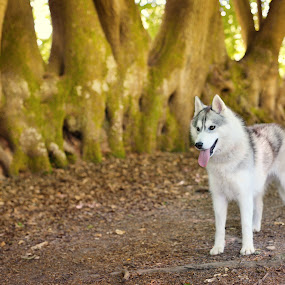 by Paweł Prus - Animals - Dogs Portraits ( almond, breed, canis, forest, harsh, colour, female, color, family, icee, husky, ears, grey, bitch, brown, dense, dog, golden, coat, animal )