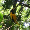 Black-headed Oriole / Black-hooded Oriole