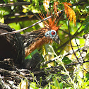 Hoatzin nest and chicks