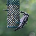 Downy Woodpecker (female)