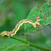 Mottled Umber Caterpillar