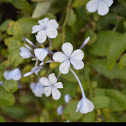 South african leadwort