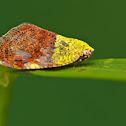 Ricaniid hopper