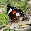 Common Eggfly - female