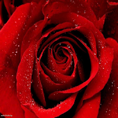 Roses Valentine wallpaper 2014