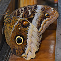 Banded-Owl Butterfly