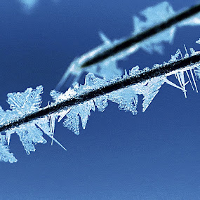 Frozen snowflakes by Janet Martinez - Nature Up Close Leaves & Grasses ( yosemite, snowflakes, pine needles,  )