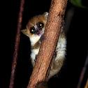 Tiny mouse lemur
