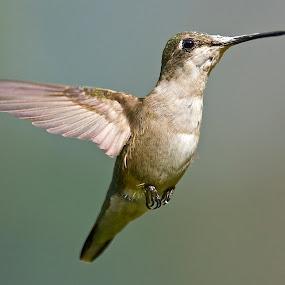 ** by Roy Walter - Animals Birds ( flight, animals, wings, hummingbird, wildlife, birds )