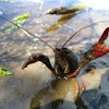 Crayfish, Cangrejo americano