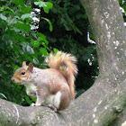 Ardilla roja o común/ red squirrel