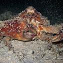 Horrid Elbow Crab, Rubble Crab